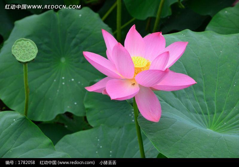 一朵盛开的美丽的荷花