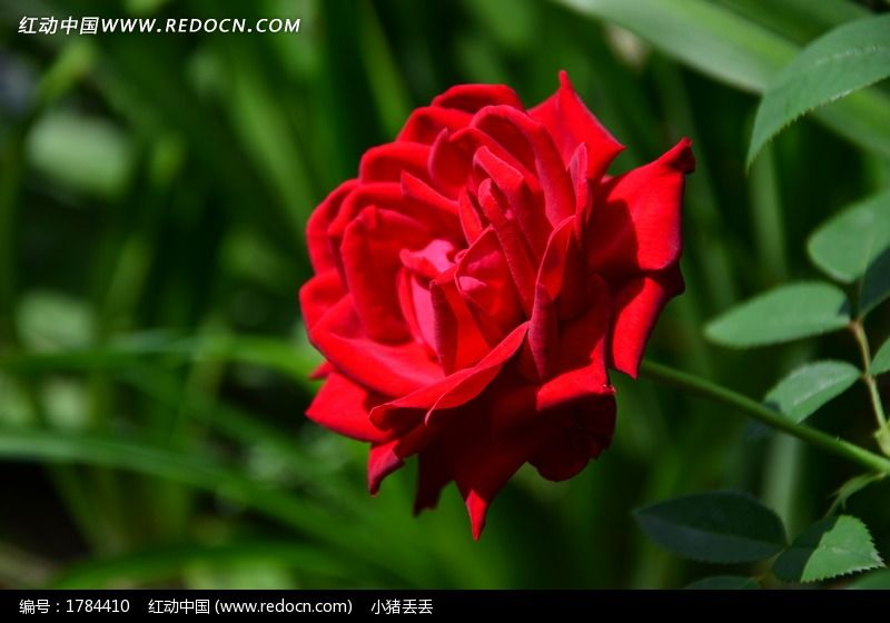 一支玫瑰花特写图片