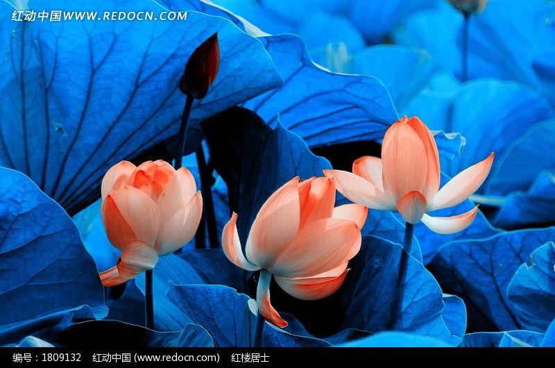 蓝色荷叶丛中的几朵荷花