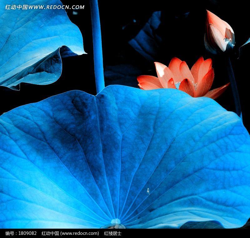 蓝叶荷花图片
