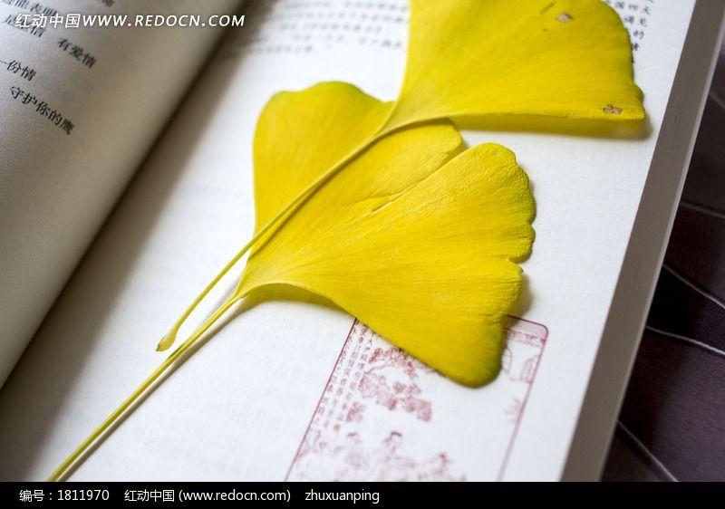 银杏银杏叶叶子叶片叶脉黄叶书签枯叶摄影图片; 卡通树叶书签图片