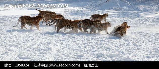 原创摄影图 动物植物 陆地动物 虎群追逐  请您分享: 红动网提供陆地