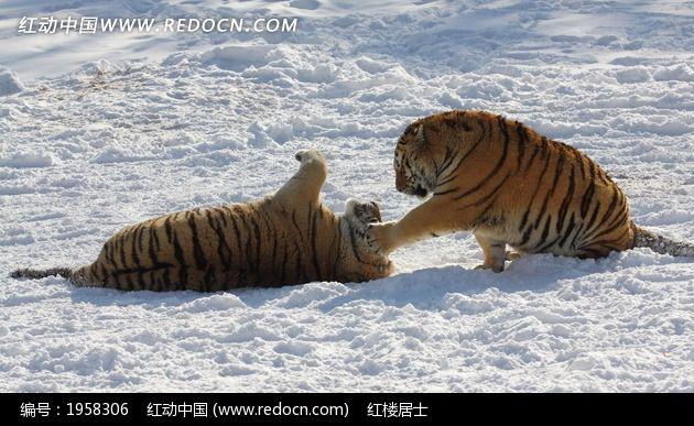 原创摄影图 动物植物 陆地动物 雪地玩耍的东北虎  请您分享: 红动网