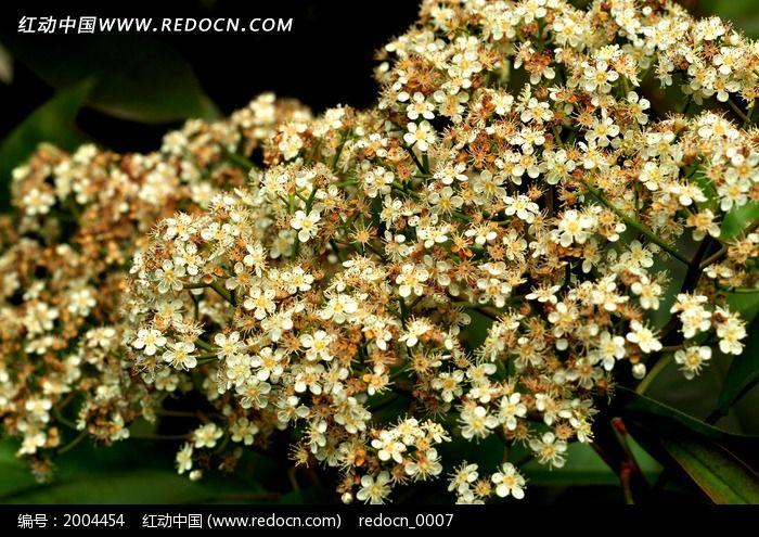 白色石楠花 小碎花图片_动物植物图片