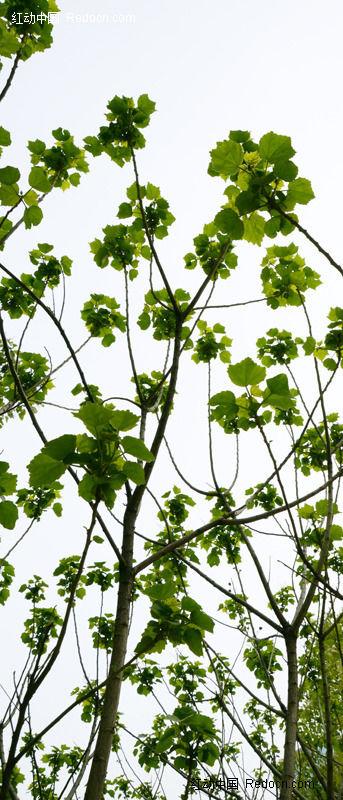 原创摄影图 动物植物 树木枝叶 枝叶繁茂的梧桐树  请您分享: 红动网