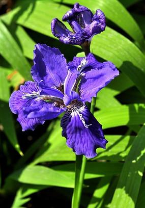 绽放的蓝色兰花