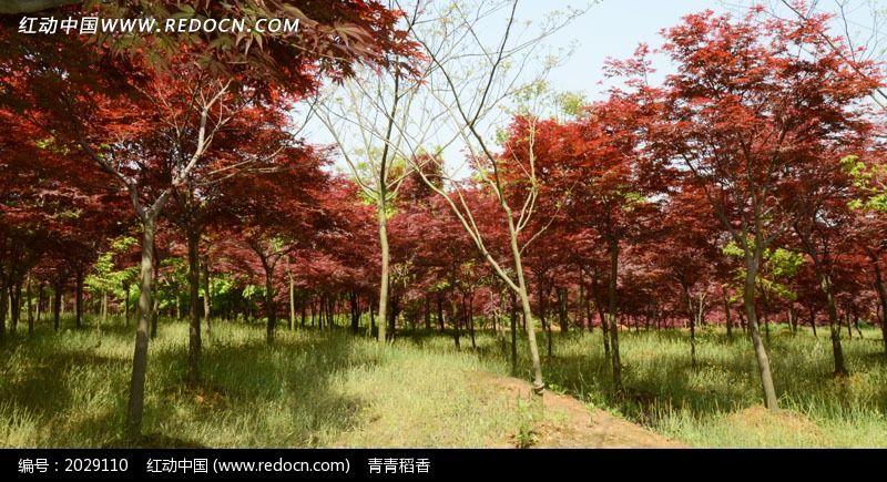 原创摄影图 自然风景 森林树林 一片沐浴阳光的红色槭树林