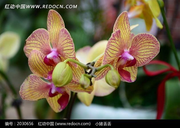 两朵黄色的蝴蝶兰特写图片_动物植物图片