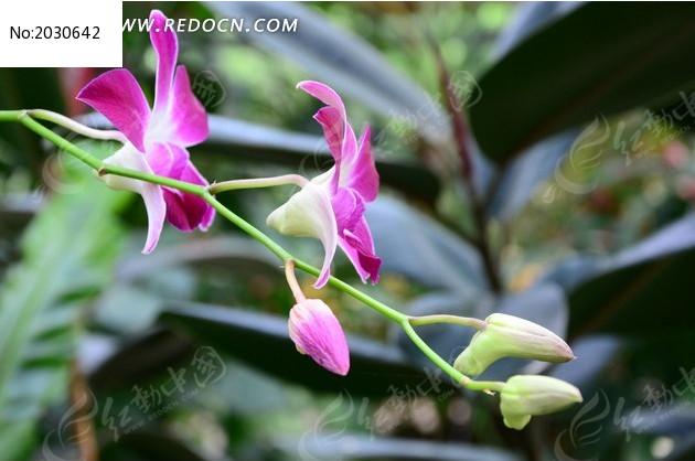 紫色的蝴蝶兰特写图片_动物植物图片