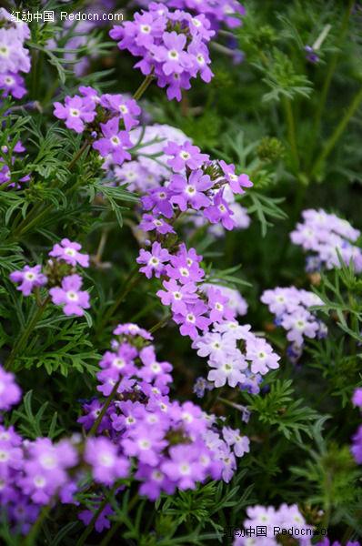雅紫色美女樱图片
