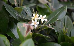 绿色灌木海桐花
