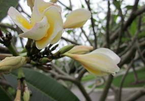 一枝含苞欲放的鸡蛋花