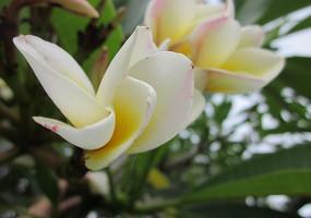两朵含苞欲放的鸡蛋花