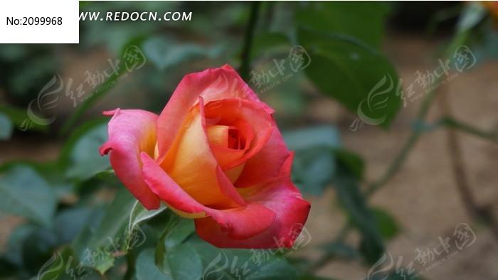 粉红渐变月季花图片_动物植物图片