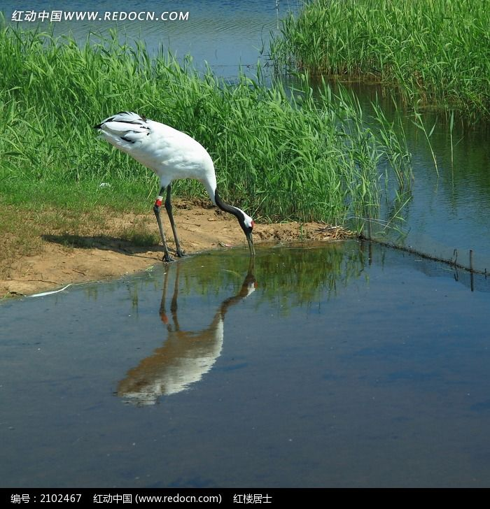水边喝水的丹顶鹤图片,高清大图_水中动物素材