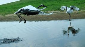 水面飞翔嬉戏的丹顶鹤