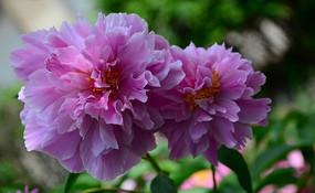 鲜艳欲滴的粉色芍药花