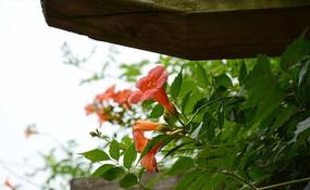 棚架上盛开的凌宵花