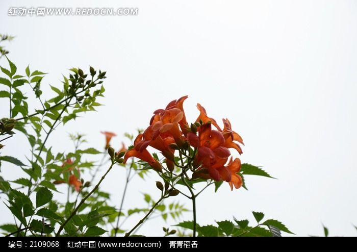 空中盛开一簇娇艳动人的凌宵花图片