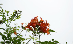 空中盛开一簇娇艳动人的凌宵花