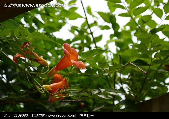 绿叶下盛开美艳动人的凌宵花图片