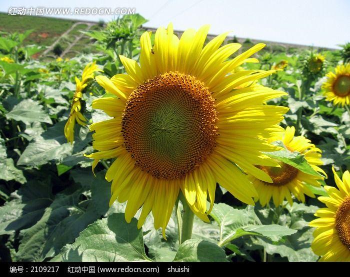 向日葵· 太阳 花图片 大全 图片