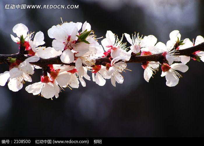 梅花 花枝