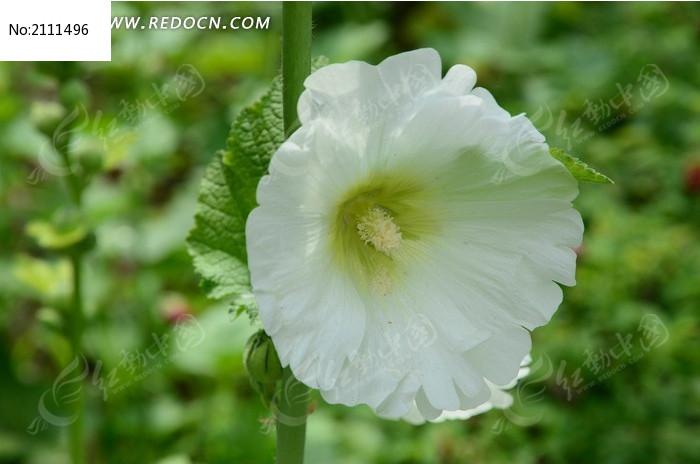 盛开的白色木槿花图片