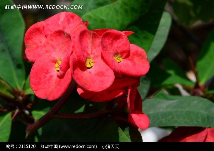 好看的红色海棠花