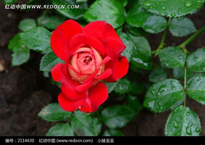 一支好看的红色月季花