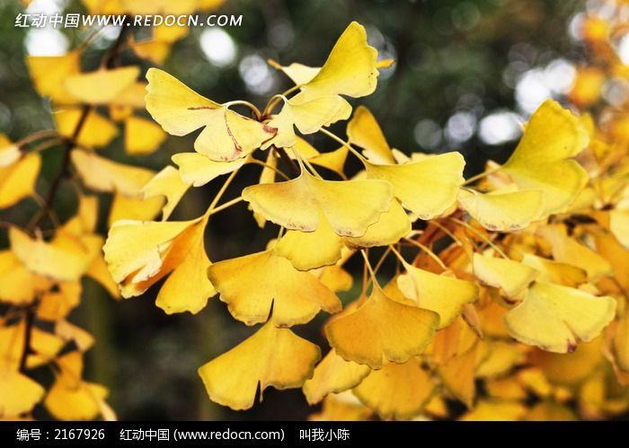 美丽的银杏树叶图片