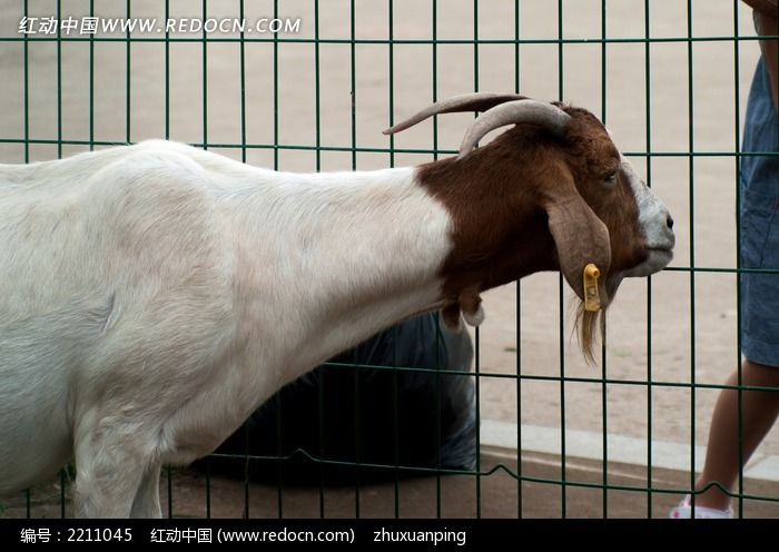 大耳羊伸脖子图片; 陆地动物; 大耳羊-中国图片