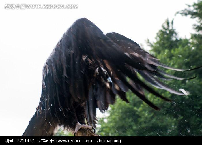 秃鹫拍打翅膀图片,高清大图_空中动物素材