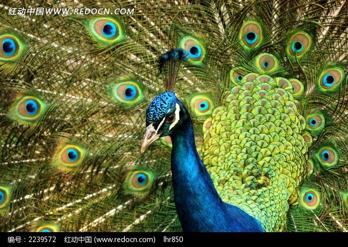孔雀开屏特写图片