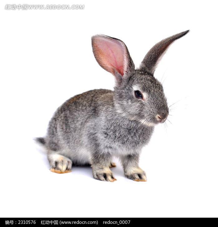 发呆的宠物灰兔图片_动物植物图片