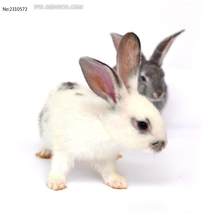 灰白两只小兔子图片