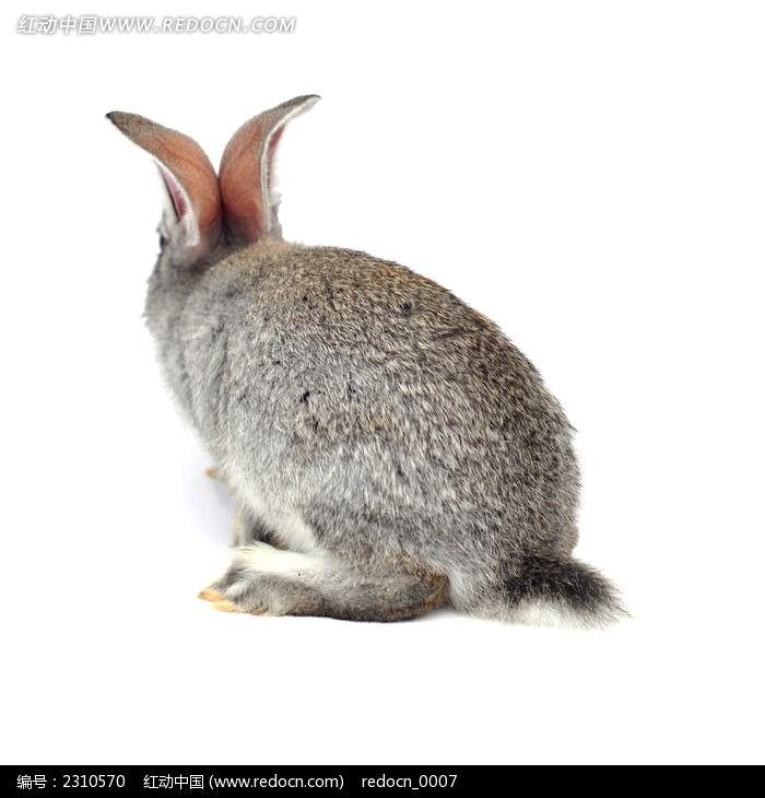 原创摄影图 动物植物 陆地动物 灰兔背面图片