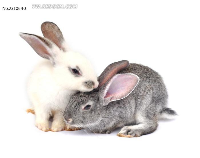 可爱的宠物兔图片_动物植物图片