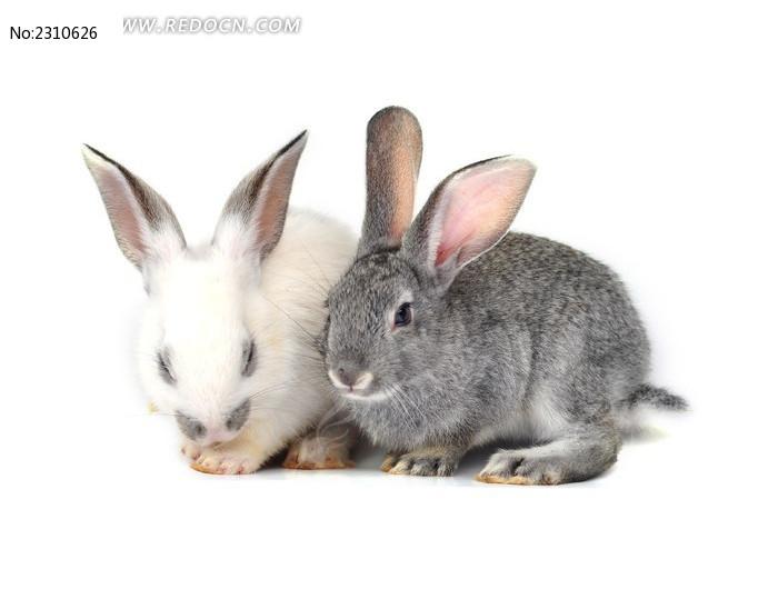 可爱小灰兔图片图片_图片