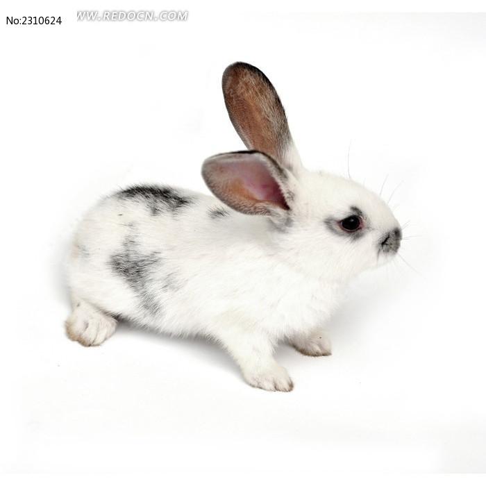 卖萌的宠物兔图片,高清大图_陆地动物素材