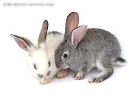 兔子情侣图片