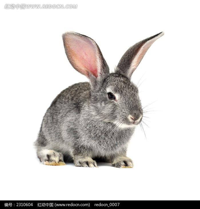 想睡觉的灰兔图片_动物植物图片