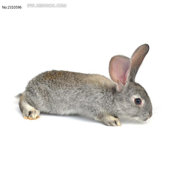 寻找食物的宠物兔图片