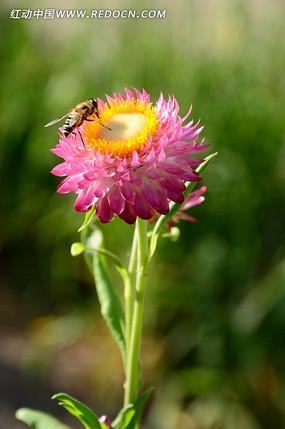 粉色麦杆菊上的小蜜蜂