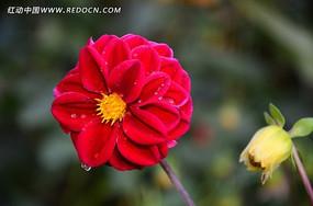 红色大丽菊上的水滴