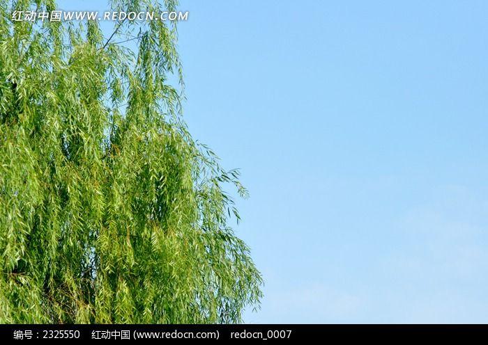 原创摄影图 动物植物 树木枝叶 蓝天下的柳树