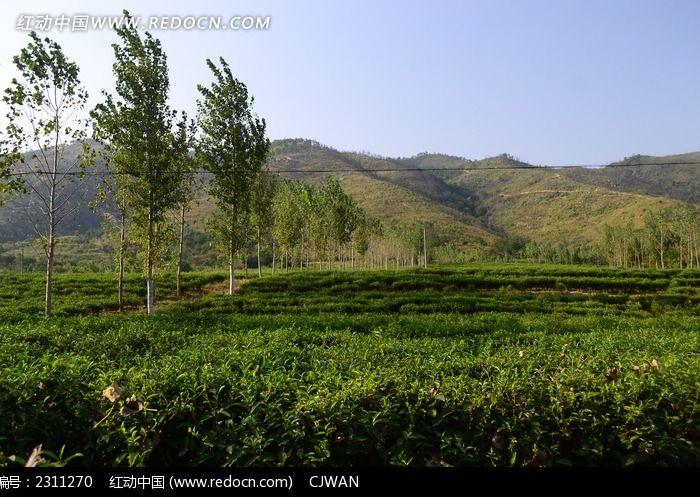 乡村茶园图片