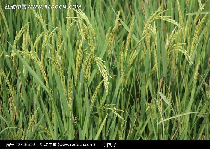 成长中的稻谷高清图片下载 编号2316610 红动网