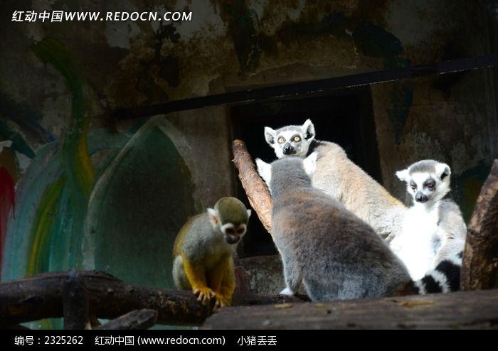 可爱的弥猴图片_动物植物图片