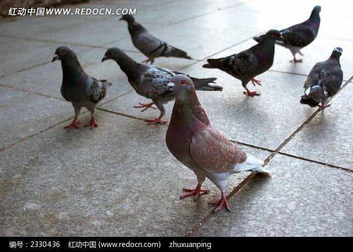 广场上的鸽子图片_动物植物图片